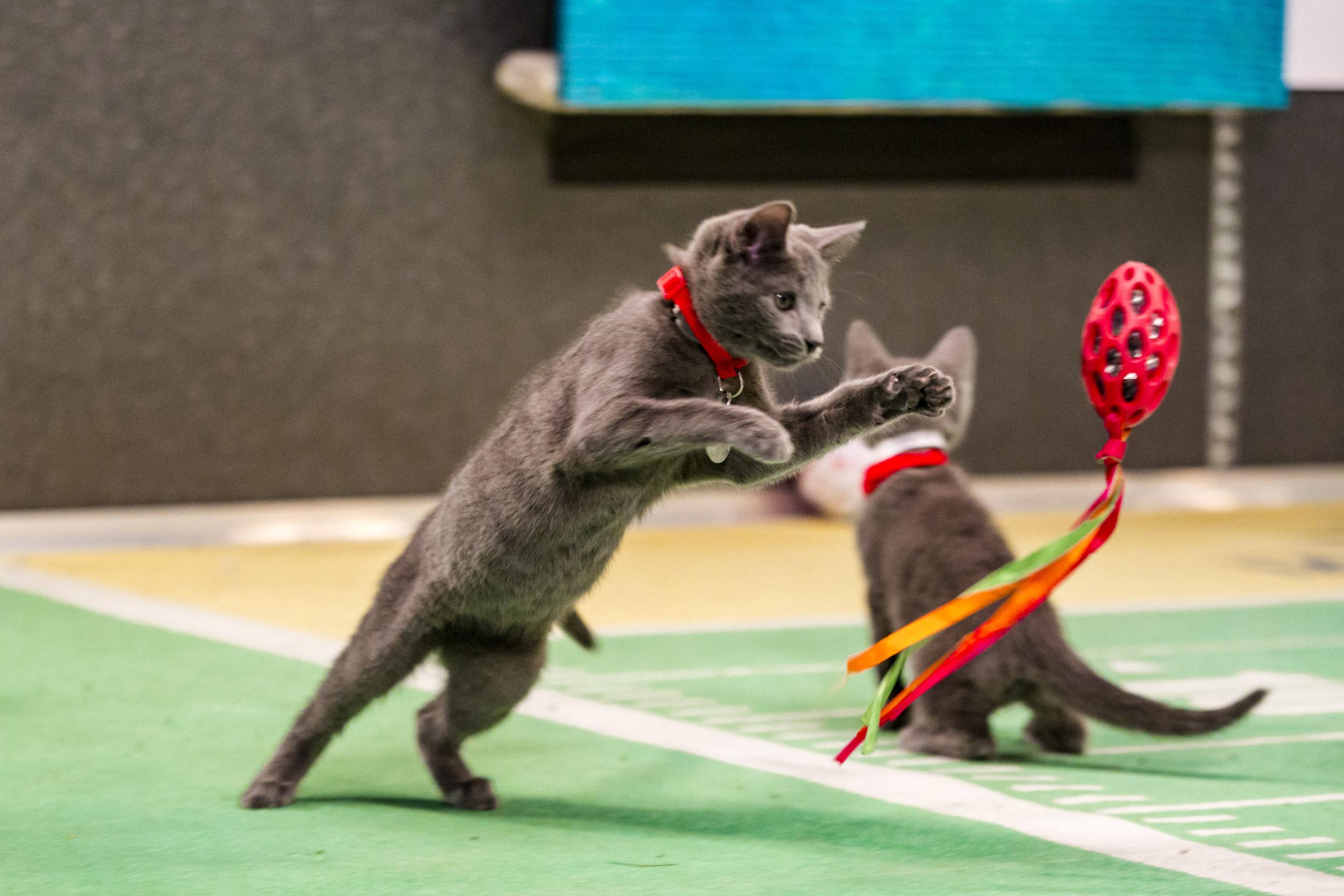 Kitten Bowl III Photo Gallery 26 Hallmark Channel