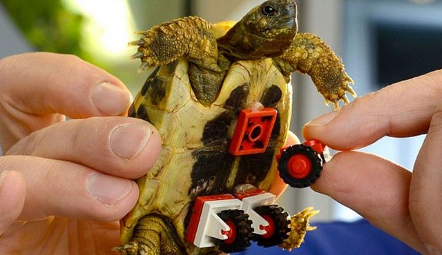 Lego wheels glued on the belly of this tortoise helps him move while he recovers from muscle weakness. Photo by Action Press/Rex