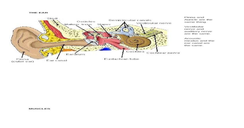 Anatomy Lab Final - DOCX Document