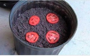 Coloque 4 rodelas de tomate em 1 vaso e faça isto... depois de 10 dias, você vai se surpreender
