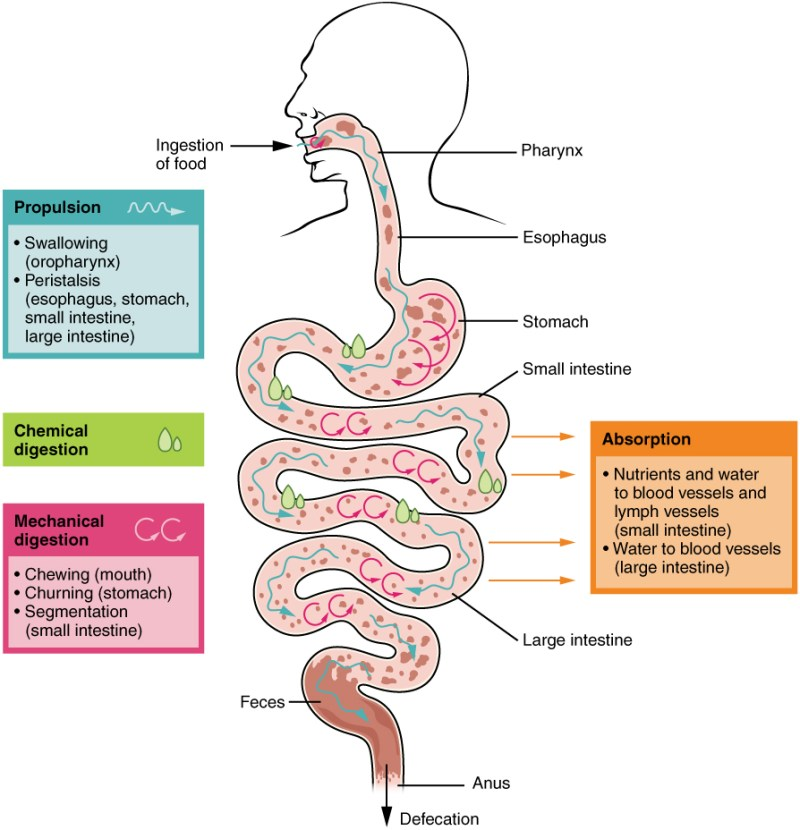 2405_Digestive_Process