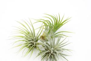 Air Plant Trio Juicykits