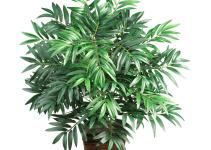 Bamboo Palm Chamaedorea Costaricana