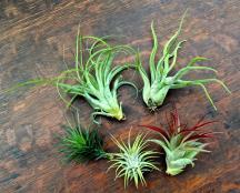 Buy Exotic Air Plants Tillandsia Succulents Real Deals