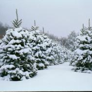 Choose Cut Christmas Tree Farms Western North