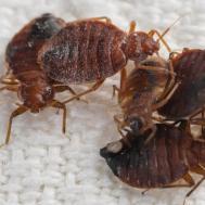 Make Homemade Bed Bug Killer Reference