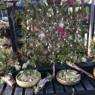 New Tillandsia Display Hyams Garden Accent Store