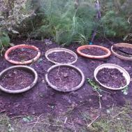 Planting Container Tulips Gardeninacity