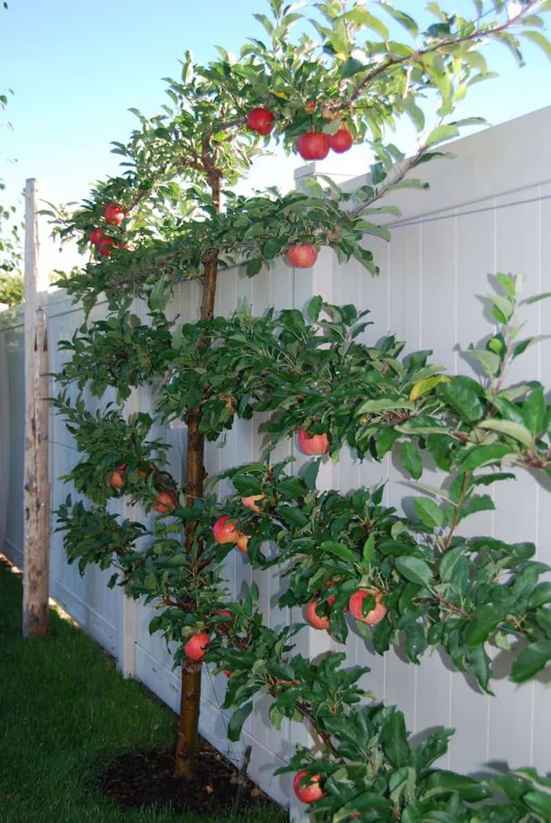 Espaliered fruit trees-designrulz (8)