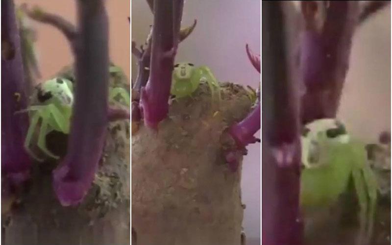 Apesar da aparência, o aracnídeo é inofensiva contra humanos
