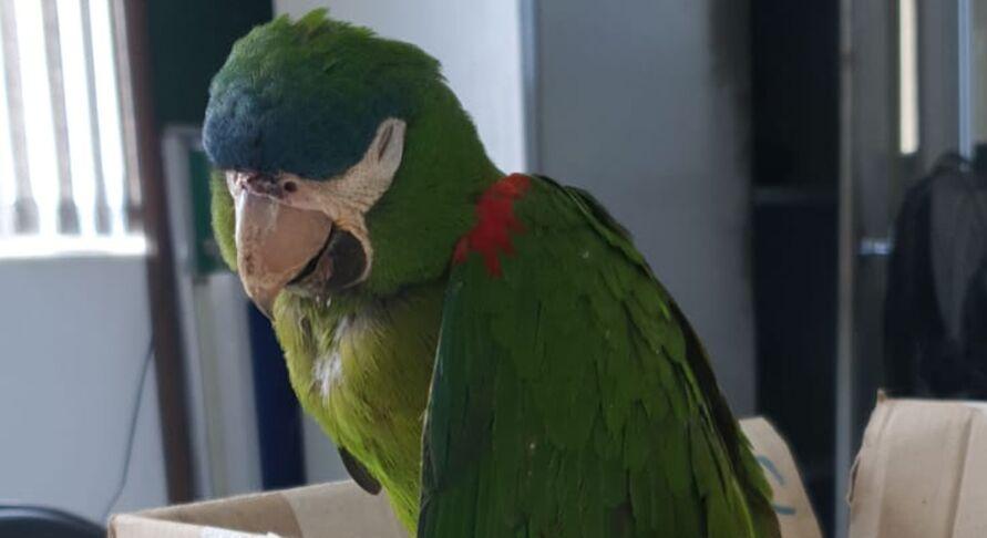 Depois de ser reanimada, a ave foi encaminhada para o Centro de Manejo e Conservação de Animais Silvestres