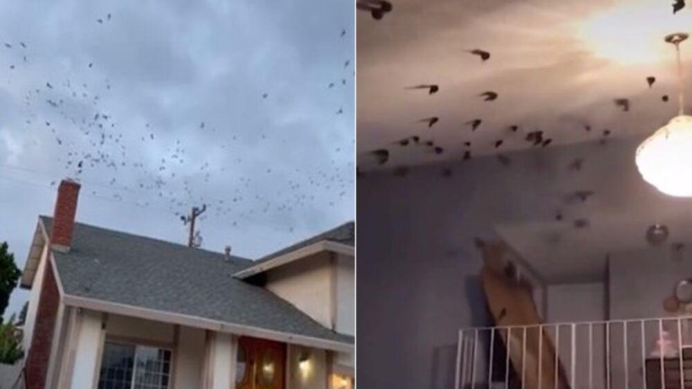 Pássaros invadem residência nos EUA