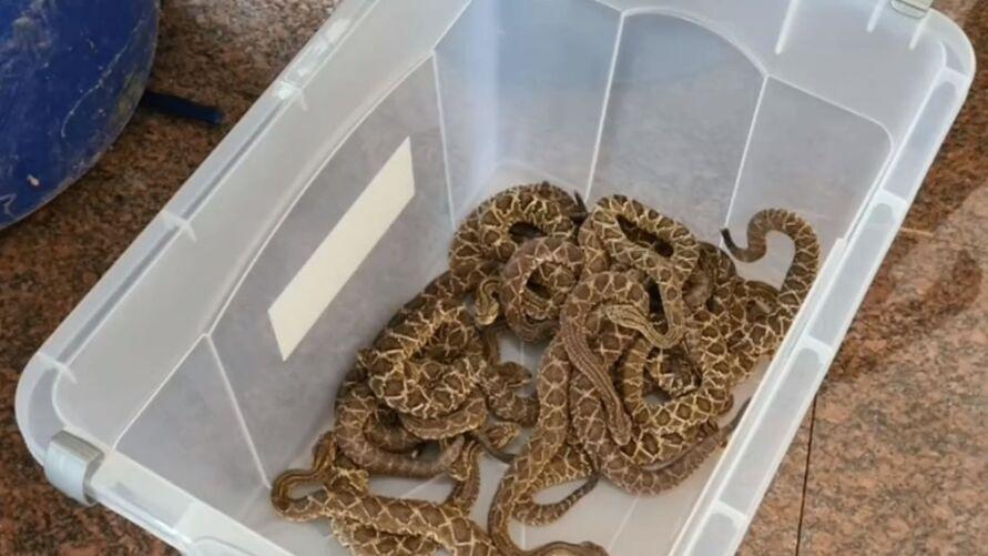 As cobras, sendo 152 cascavéis e uma jararaca, eram mantidas em sigilo.