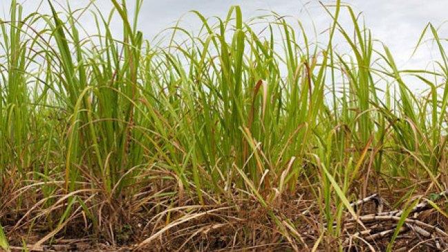 Merugi, Petani Tebu Asal Blitar Pindah Ke Usaha Lain