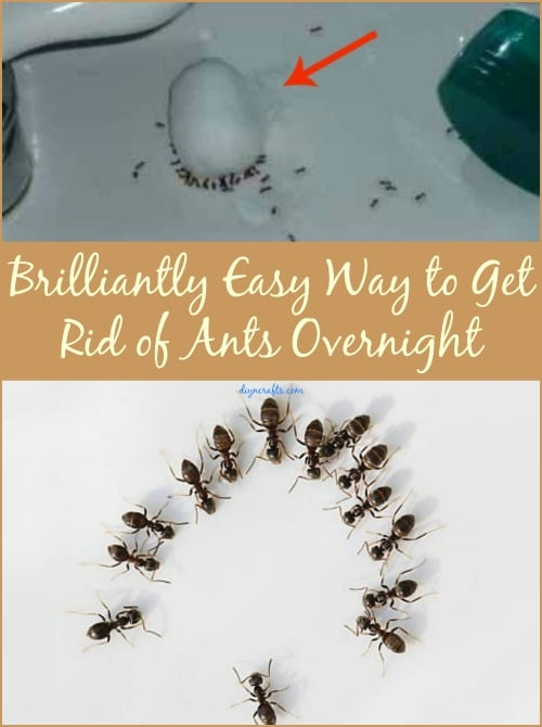 brilliantly easy way to get rid of ants