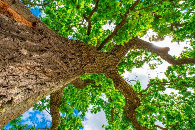 Oak tree summer background