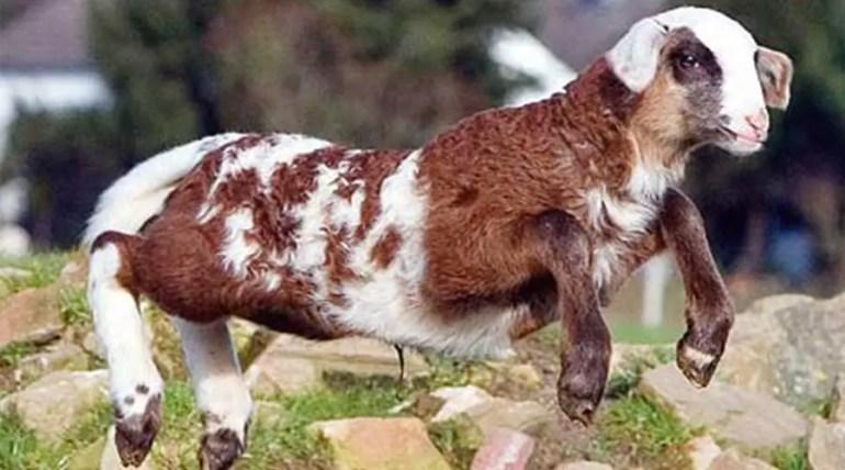 أغنام الماعز Sheep Goat