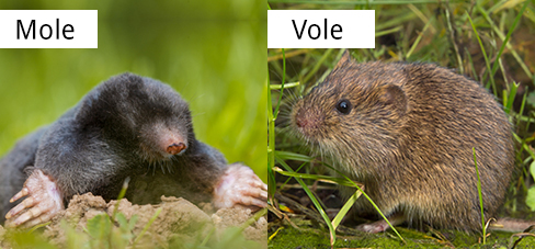 Vole Identification Guide What Is A Vole What Do They Eat Look Like