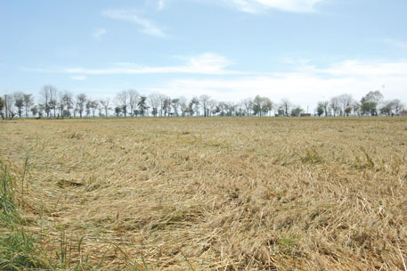 The hailstorm that hit Punjab in early March this year left wheat crops flattened (Photo: Jitendra)