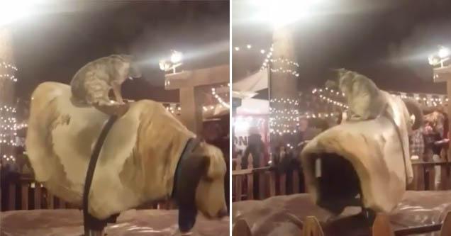 Australian Cattle Dog Doesn T Fall Off A Bucking