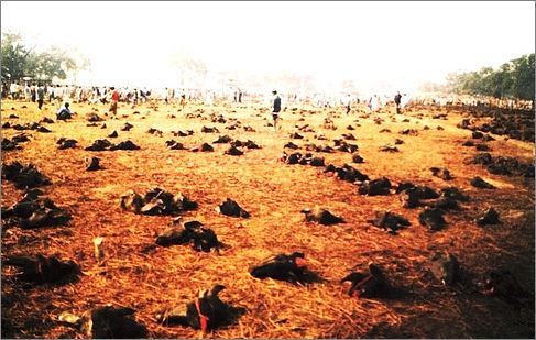 buffaloes killed in Gadhimai, pic from mysansar.com