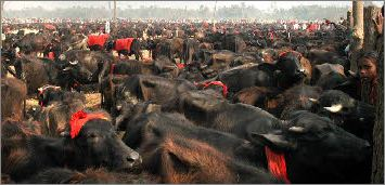 thousands-of-buffaloes-ready-to-be-slaughtered-in-gadhimai-mela-bara-nepal