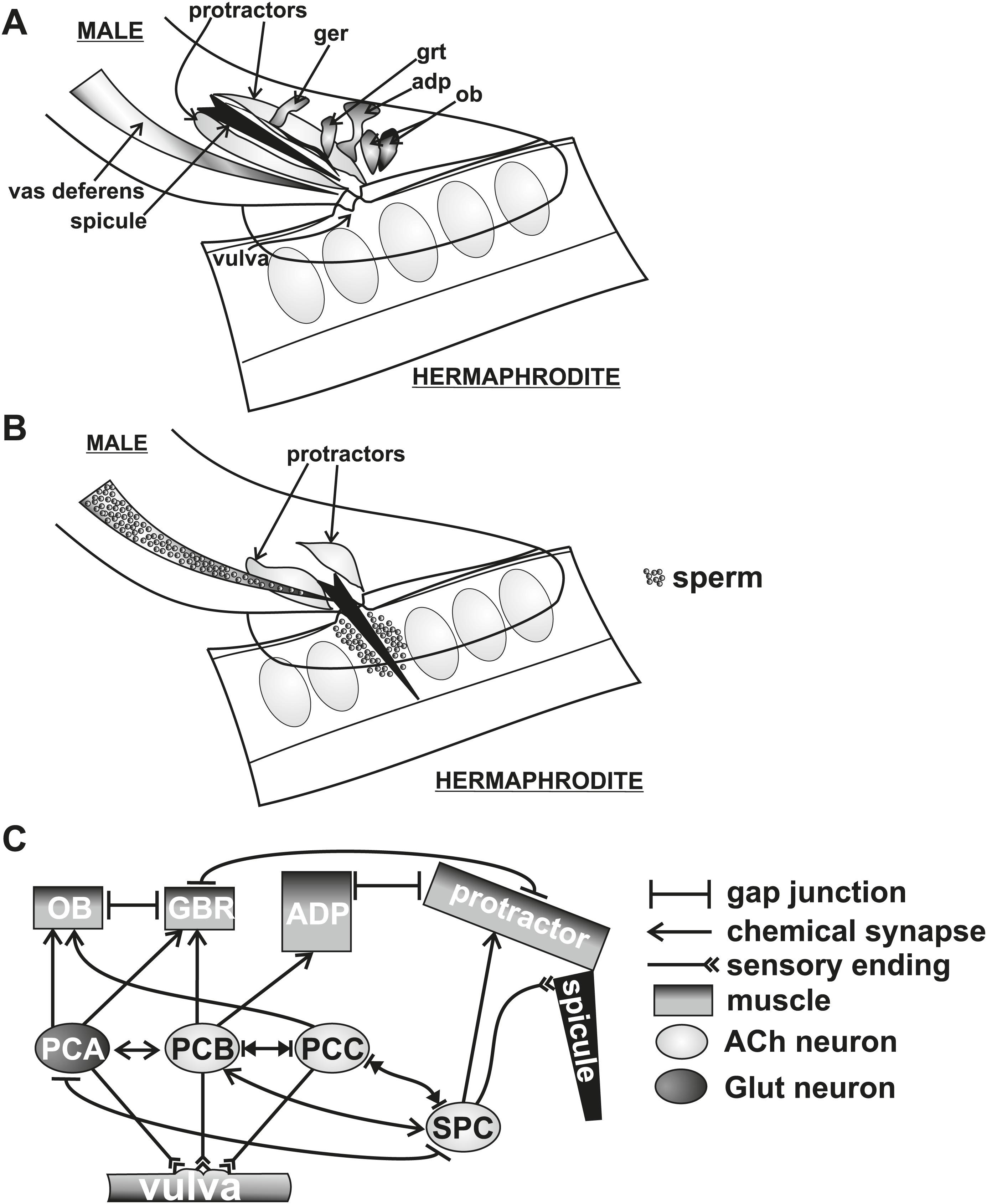 Caenorhabditis Elegans Male Sensory Motor Neurons And