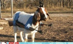 Animals Attack Best Of Week Goat Guns
