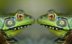 Frogs Face To Face Emulating A Crock