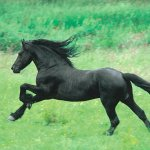 Black Horse Running Poster Sold At Europosters