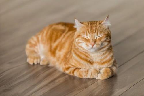 Mèo mướp: Đặc điểm, tập tính, cách nuôi và huấn luyện - 5