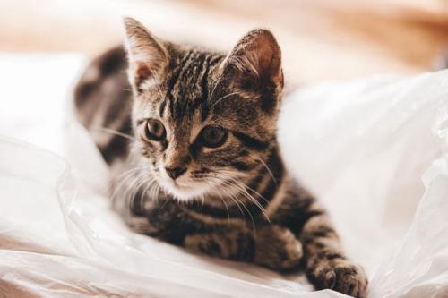 Mèo mướp: Đặc điểm, tập tính, cách nuôi và huấn luyện - 4