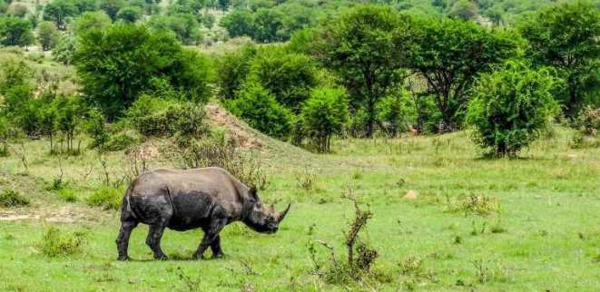 The Black Rhinos, a rare species of rhinos and endangered are back at the Akagera National Park/Africa Keys