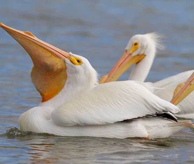 American White Pelican Bird Gallery Houston Audubon