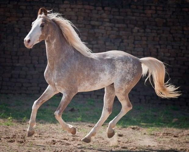 Сабино животные, лошадь