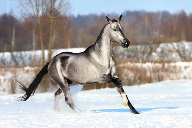 Серебристо-буланая животные, лошадь