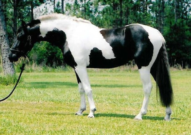 Черно-белый пинто животные, лошадь