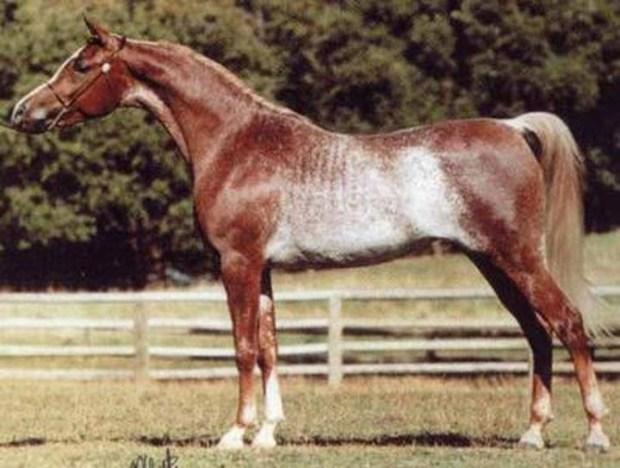 Красный рабикано животные, лошадь