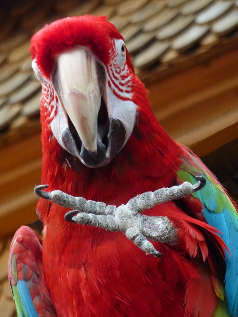 Этот жест может означать «Дай!» или «Привет!», но может быть и попыткой защититься. гифки, животные, история, попугай ара, факты