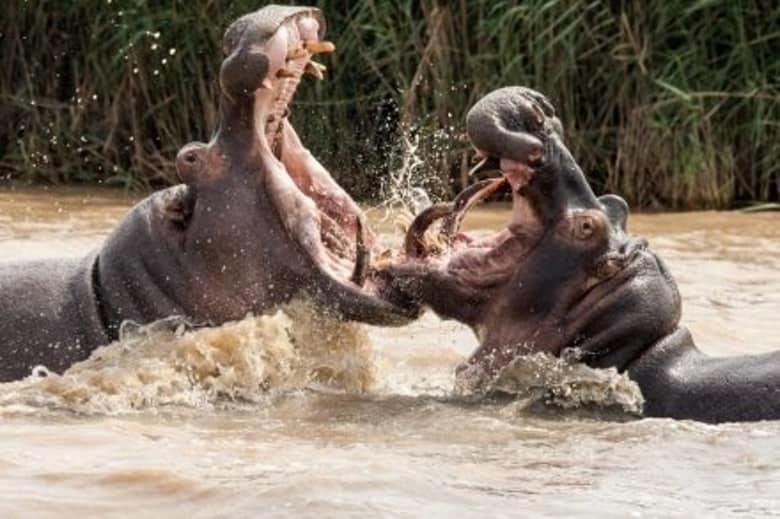 4. Обыкновенный бегемот животные, мир, опасность