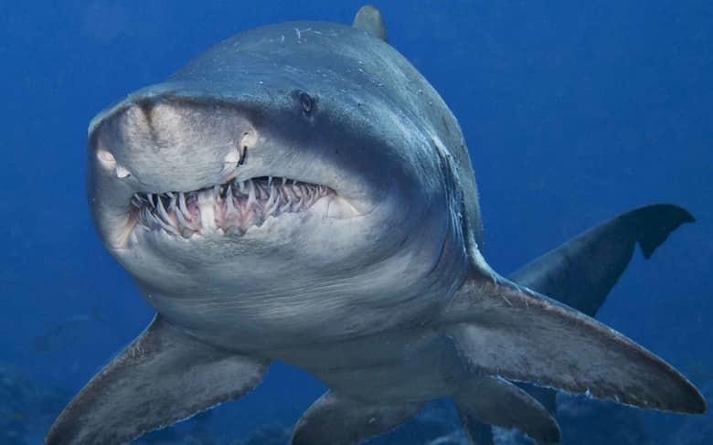 6. Тупорылая акула животные, мир, опасность