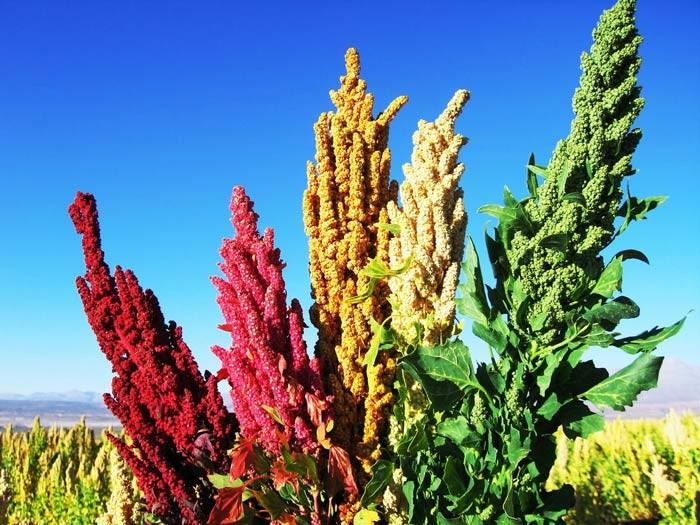 Киноа(кинва) Экзотические растения, природа, съедобные растения