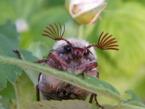 Знакомые незнакомцы - майский жук