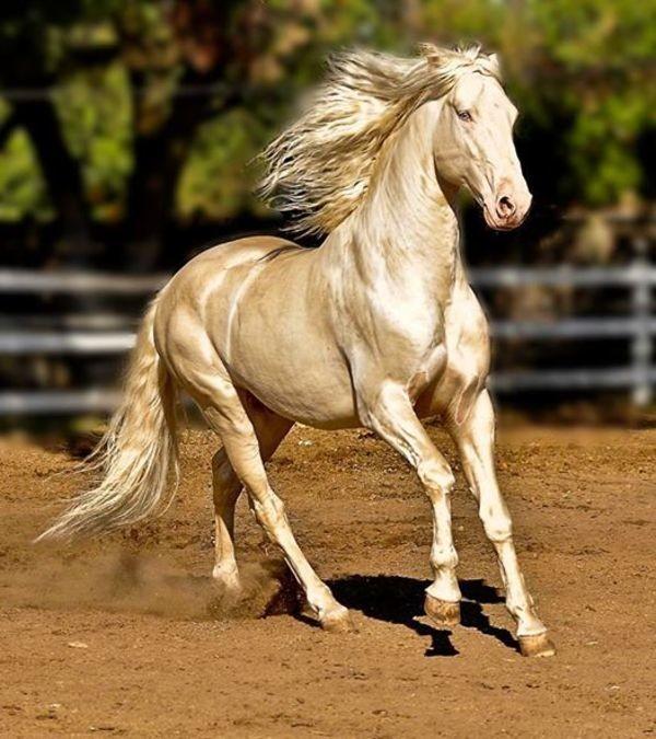 Ахал-Теке: одна из самых красивых лошадей в мире Туркмения, ахалтекинские лошади, кони, конь, лошади. факты, лошадь, масть