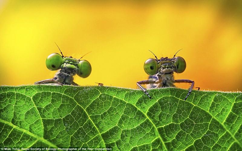 Две стрекозы. Снимок сделан в китайской провинции Цзэцзян, фотограф Мяо Юн биология, макроснимки, макросъёмка, микрофотографии, микрофотография, претендент, фотоконкурс, фотоконкурсы. природа