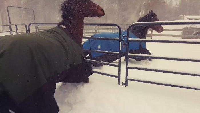 Наших героев - укрытых тёплой попоной лошадок, выпустили на прогулку видео, животные, забавно, лошади, реакция, смешное, снег, юмор