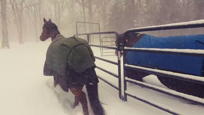 Резкие похолодания иснегопады вСеверной Америке застали врасплох даже лошадей! видео, животные, забавно, лошади, реакция, смешное, снег, юмор