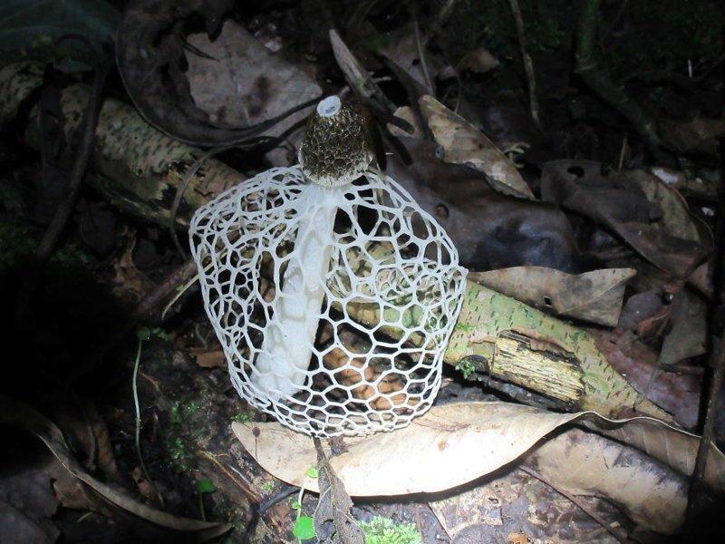 Гриб с сеткой джунгли, дикие животные, животные, интересно, неизведанное, природа, фото, южная америка
