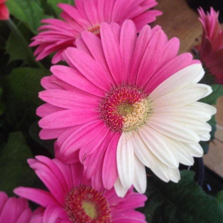2. Частично розовый, частично белый цветочек в мире, познавательно, удивительно, фото, фотомир