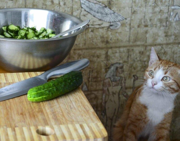 Почему кошки едят огурцы ветеринар, еда, животные, кот, кошка, огурец, питание, почемучка